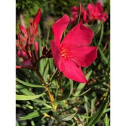 Leandru - Nerium Oleander