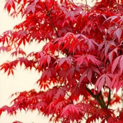Acer palmatum Atropurpureum - Arțar japonez