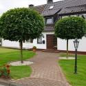 Acer platanoides Globosum - Arțar globos