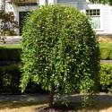Salix caprea 'Pendula' - Salcie căprească