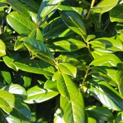 Prunus laurocerasus - Laur englezesc